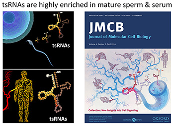tsRNAs are highly enriched in mature sperm & serum