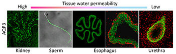 tissue water permeability