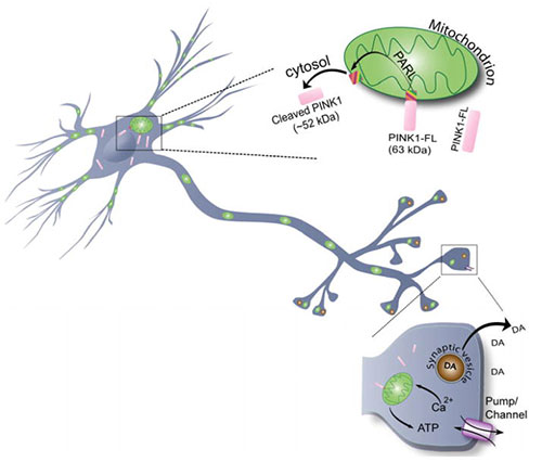 New mechanism of neuronal plasticity